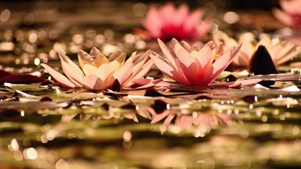 Obraz na Szkle Do jadalni Beautiful flowering pink water lily - lotus in a garden in a pond. Reflections on water surface.