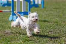Dog Running Towards Hurdle On ...