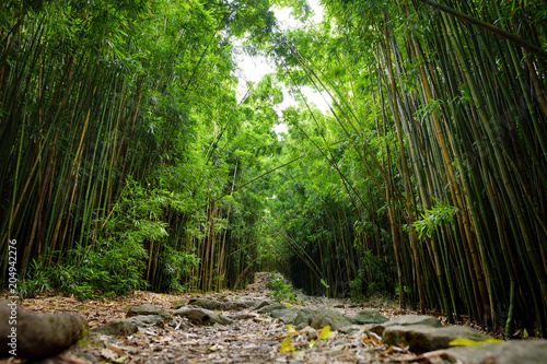 Path through dense bamboo forest, leading to famous Waimoku Falls. Popular Pipiwai trail in Haleakala National Park on Maui, Hawaii