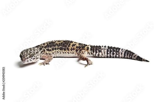 Lizard. Leopard gecko
