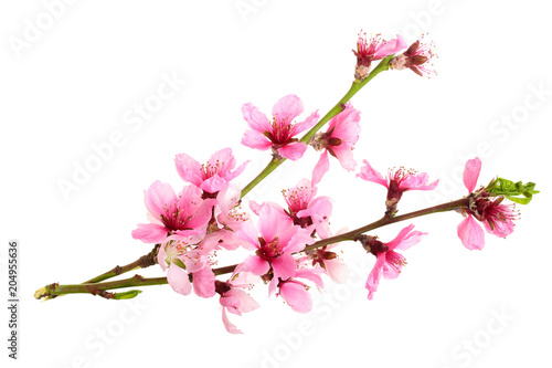 Photo  Cherry blossom, sakura flowers isolated on white background