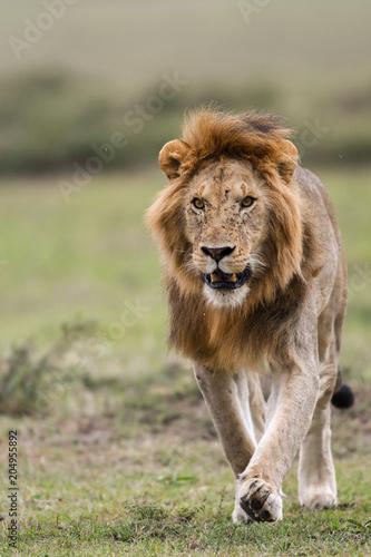 Poster Lion Male African lion in Masai Mara, Kenya