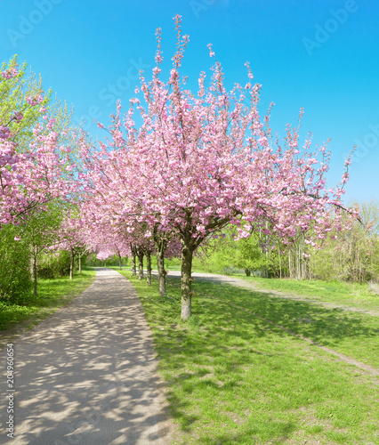 Tuinposter Purper Alley of blossoming cherry trees called