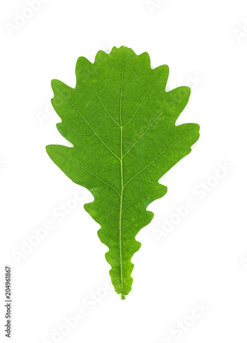 Oak tree leaf isolated on a white background