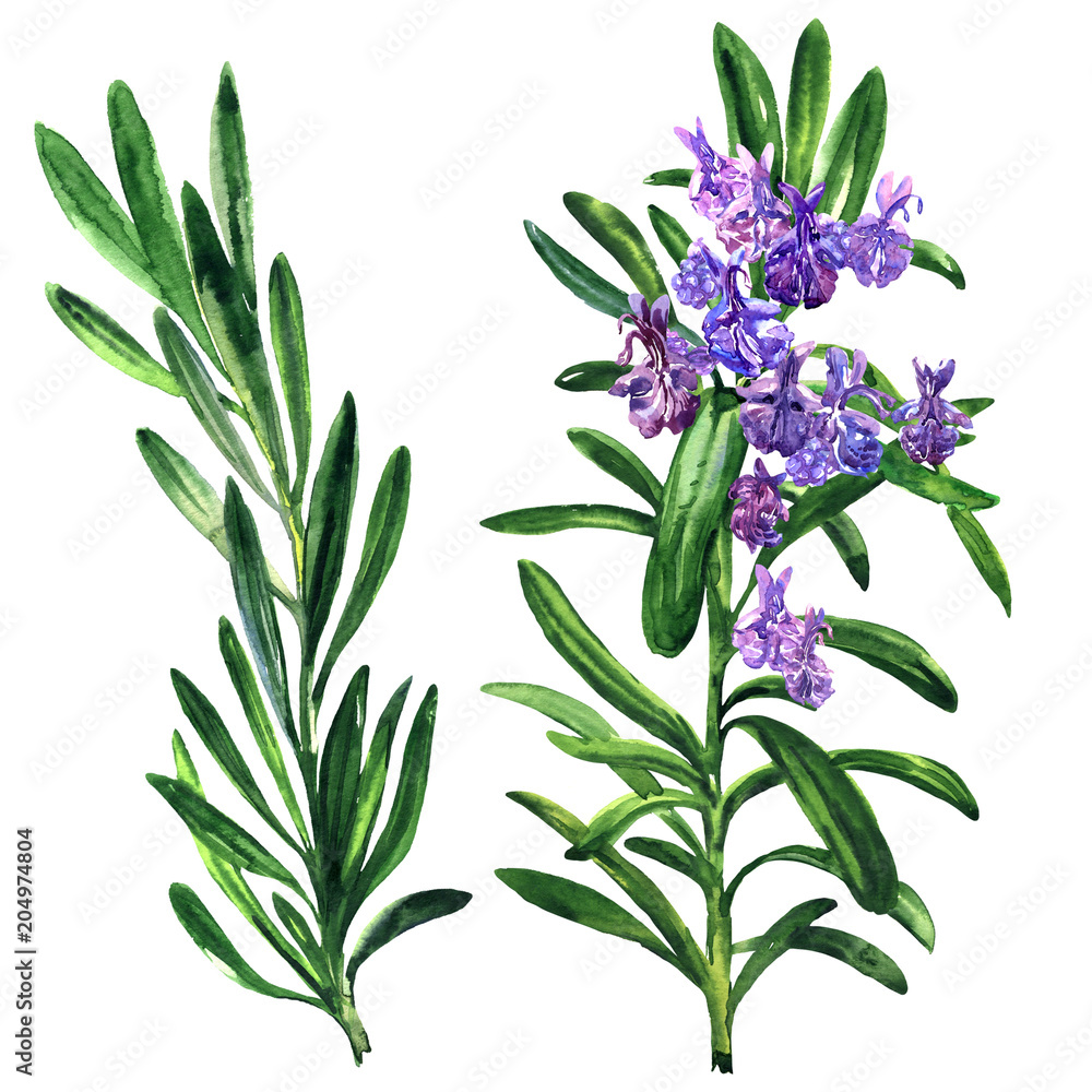 Fototapety, obrazy: Fresh rosemary herb and spice branch, plant with flowers isolated, hand drawn watercolor illustration on white
