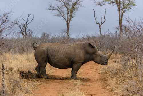 Poster Neushoorn White rhino in Hlane Royal National Park, Swaziland