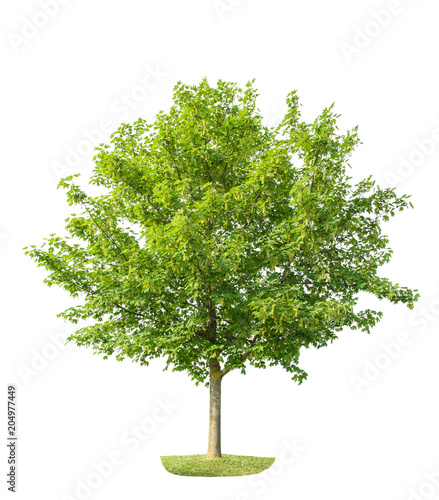 Green young maple tree isolated white background