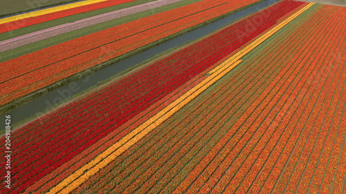 AERIAL: Colorful blooming tulips on vast agricultural field next to small river