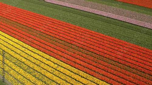 AERIAL: Stunning red, pink and yellow rows of rich blooming tulips on big field