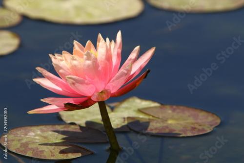 Foto op Canvas Waterlelies Кувшинка растет на озере в парке