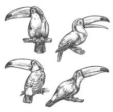 Toucan Tropical Bird Sketch, Exotic Animal Design