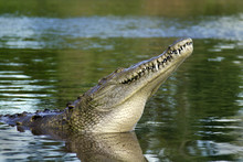 American Crocodile In The Tarc...