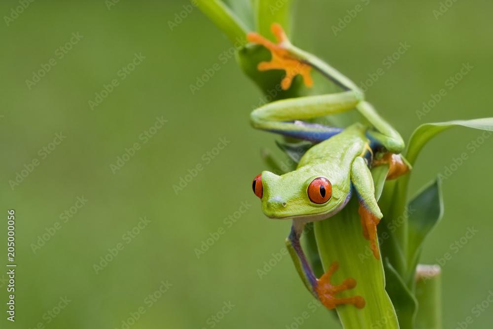 Fototapeta Red-eyed Tree Frog ready to hop