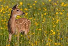 Fawn In Field Of Flowers