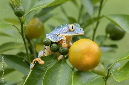 Amazon Leaf Frog / Fringe Tree Frog (Cruziohyla craspedopus) in Rainforest Fototapet