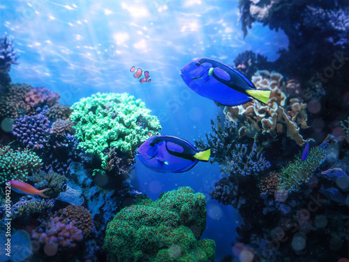 Photo sur Aluminium Sous-marin Blue tang fishes and coral reef life. Background and graphic use