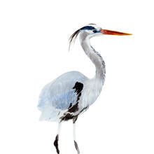 Bird  Watercolor Illustrations...
