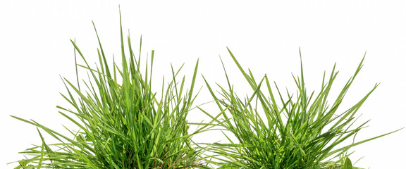 two bunches of green grass isolated on white background