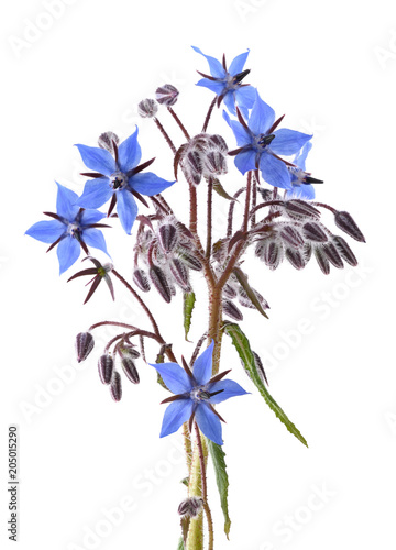 Foto op Canvas Aromatische Borage plant (Borago officinalis)