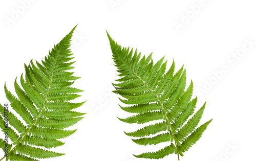 Fresh fern leaves
