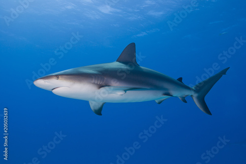 Caribbean reef shark bottom up from the side in clear blue water Wallpaper Mural