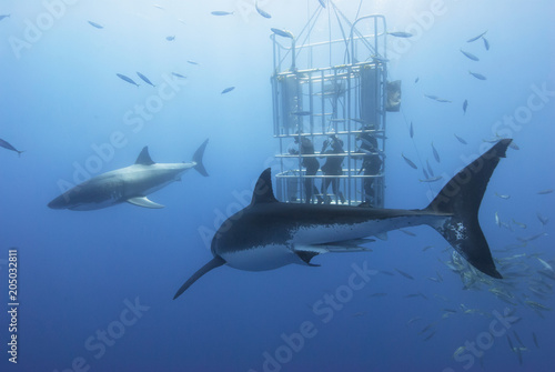 Obraz na plátne Great white sharks in front of a diving cage with scuba divers