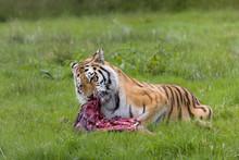 Amur Tiger With Prey
