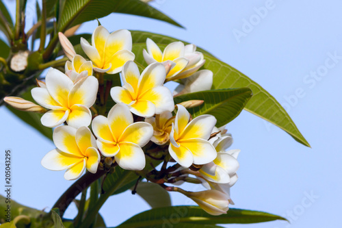 Tuinposter Frangipani White and yellow plumeria flowers on the blue sky background.