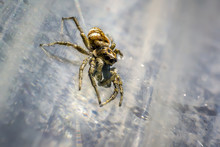 Tiny Zebra Jumping Spider In S...