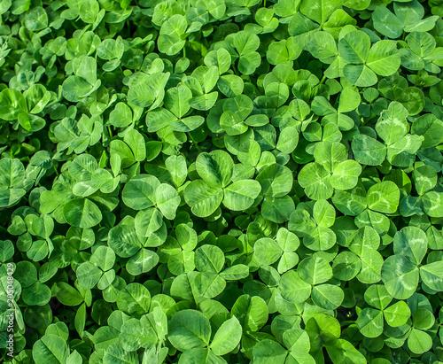 Green grass clover as background