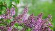 beautiful Blooming pink lilac close-up.