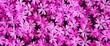 Leinwandbild Motiv pink flowers in the garden. top view. natural pink background