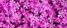 Pink Flowers In The Garden. Top View. Natural Pink Background