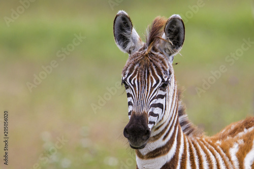 Foto op Canvas Zebra Young baby zebra in the Ngorongoro Crater National Park in Tanzania