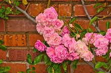 Close Up Of Pretty Pale Pink Climbing Roses With The Red Brick Wall Background. Beautiful Sweet Rambling Rose Flower (Rosa Super Fairy, Mannington Mauve Rambler) In Uminonakamichi Garden,Fukuoka,Japan