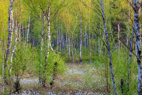 Wiosenny Las Brzozowy  - 205061476