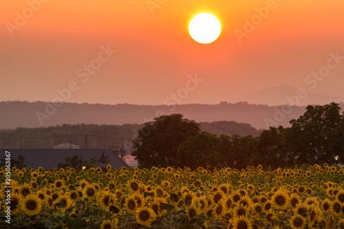 Deurstickers Oranje eclat 夕暮れの向日葵