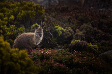 Wet Wallaby On Mount Wellingto...