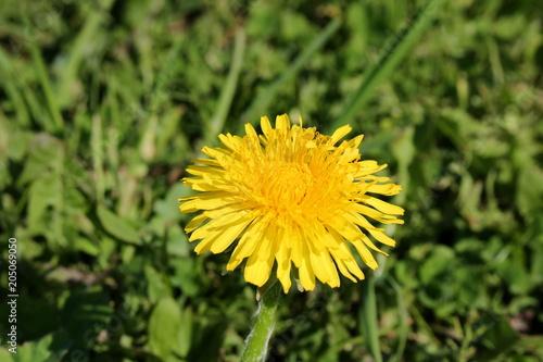 Staande foto Paardebloem красивый желтый одуванчик на фоне зеленой травы
