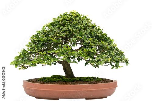 Foto op Aluminium Bonsai bonsai on white background