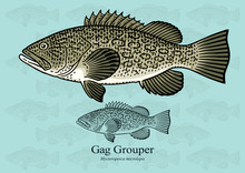 Gag Grouper. Vector Illustrati...