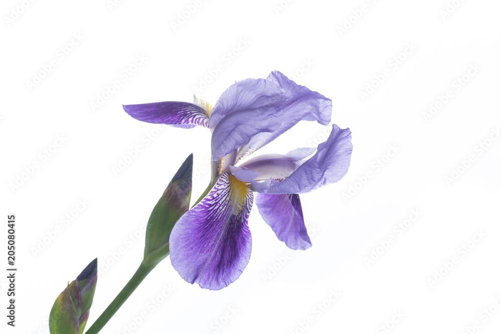Fototapeta beautiful violet iris flower