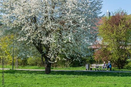 Blühende Kirschbäume im Frühling, Deutschland