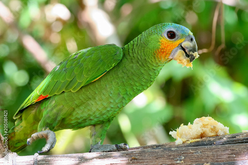 Orange-winged amazon parrot Wallpaper Mural