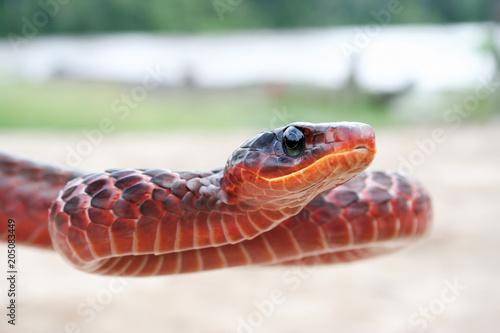 Red Surinam snake