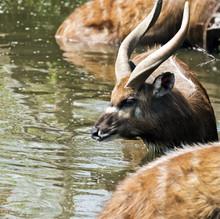 Antelope In Water