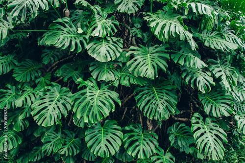 Zieleń liście Monstera filodendronu rośliny dorośnięcie w szklarni, tropikalna lasowa roślina, wiecznozieloni winogrady abstrakta tło.