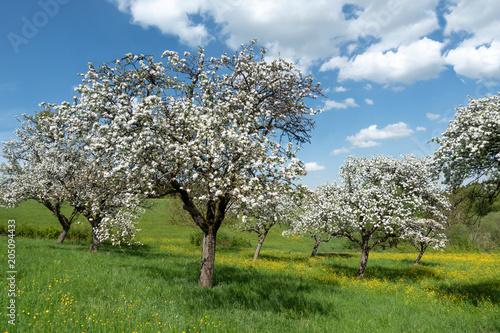 Blühende Apfelbäume in einem Obstgarten