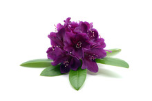 Purple Rhododendron Flower Hea...