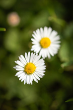 Top View On Two Daisies Which Grow In A Lawn